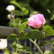 薔薇が咲いた~♪(その1)