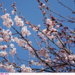 コヒガン〈小彼岸〉 桜