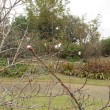狂い咲きのハナモモ