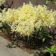 松嶺院 彼岸前の花