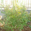 カボチャ収穫・ブルーベリー移植