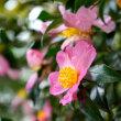 椿がチラホラと咲き始めていました