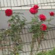 初冬にバラが咲いています
