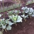 水菜の畝の種まき