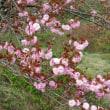 美の山公園 花の森・・・・・14・15日は桜まつり