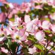 早くも、ハナミズキが咲き始めました。‥⑤ 【ひで某】