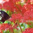 蝶と彼岸花。。。やすらぎの林☆