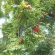 栃の木と実