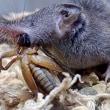 コオロギを食べるワタセジネズミ