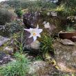 テッポウユリ季節外れの開花