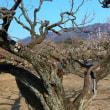 老木に咲く梅