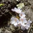 弘前城公園の桜☆