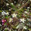 平標山のお花畑