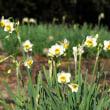 日本水仙(ニホンズイセン)が咲き始めていました