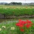 白花彼岸花ロード<秋のお散歩2>