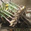 三州生姜を収穫