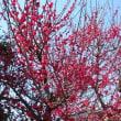 桜はまだかなあ ?
