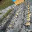 スナックエンドウ グリーンピース キヌサヤを畑に植えました