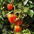 ホオズキ(なす科)の果実