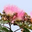 国道のネムの木の花が咲きました。