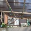 ブドウの蔓を屋根に誘引 すると・・・