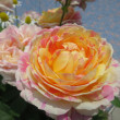 【バラ クロード・モネ】 青空の庭園 ◆