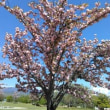 散歩で藤と八重桜‼