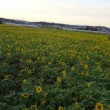 清武ひまわり畑と村角のコスモス畑