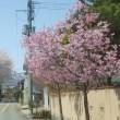やまがた長井まちなか桜回廊 4/19