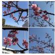 千葉みなと公園の河津桜