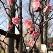 咲いた梅園の花!