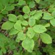 オオバスノキの葉