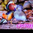 1/16 投稿 オシドリ 美しい羽色の方がオス
