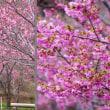 楽しい桜 陽光桜の志摩横山