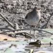 埼玉県川越市にある伊佐沼の浅瀬には、数羽のシギが飛来しています