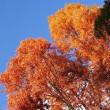 カラマツの紅葉