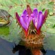 オニバス カエルも花見