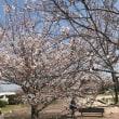 守山市内の桜