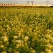夕陽で紅く染まる、蕎麦の花とカシオペア回送列車!!