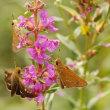 山野で見た蝶(2) イチモンジセセリ
