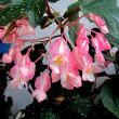 木立(きだち)ベゴニアの花