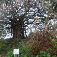 喜界島散策、ガジュマル
