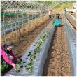 イチゴの苗植え