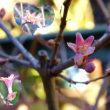 ミヤマウグイスカグラ咲く