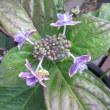 紫陽花 アナベル とコンペイトウ