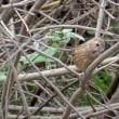 冬鳥のベニマシコ