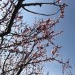 アンズの花と飛行機雲