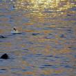 ●ミコアイサ(2014年) 富山市環水公園 夕陽 YouTubeで動画+スライドショー