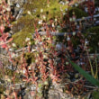 ロボウクモマグサ(ユキノシタ科・ユキノシタ属)一年草