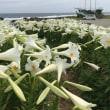 島はお花ばたけ#エラブユリ#ウジジ浜#下平川#恋の季節